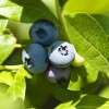Blueberries: Tips for growing quality bushes