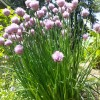 Wild About Plants: Chives, sage, wild raspberry and more