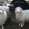 Breeds, demos, crafts, and more at Lamb, Goat and Wool Festival