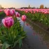 Tulip time: Skagit Valley fields are filled with color