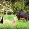 Dairy goats: A basic introduction of what you need to know