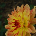 elightful dahlias web 3