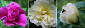 roses in bloom web