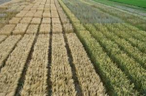 Barley and wheat plots. Photo by Kim Binczewski